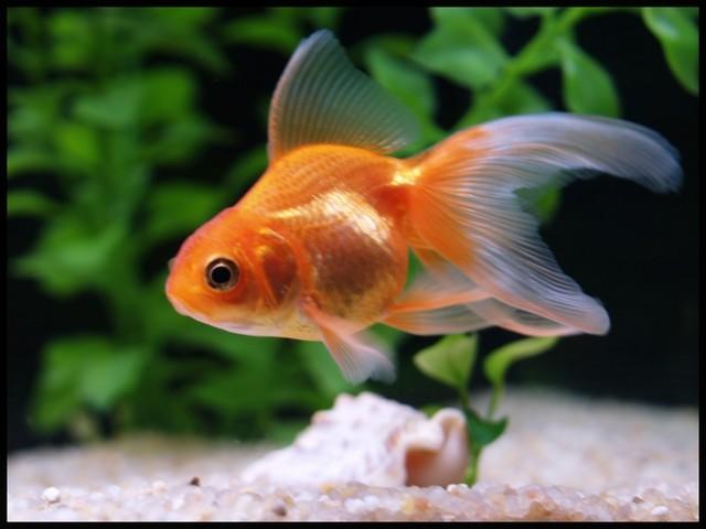 Fantail ou oranda for Ou trouver des poissons rouges