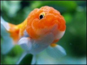 Les poissons rouges forum d 39 entraide for Poisson rouge japonais
